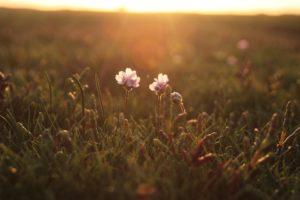 Salicorne, Nature, Fleur, Été, Prairie, Flora, Belle