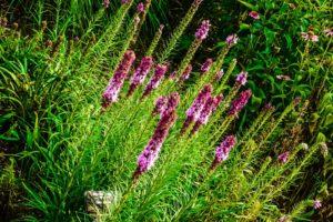 Liatris, Fleur De L'Amérique Du Nord