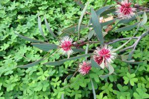 Eucalyptus, Fleur, Vert, Bush, Nature, Printemps