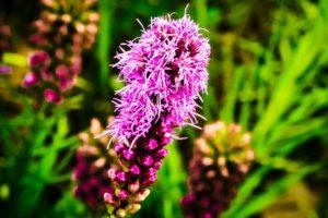 Gayfeather, Liatris, Fleur De L'Amérique Du Nord