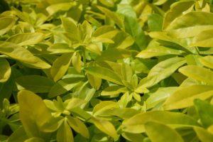Plantes, Pittosporum, Feuilles, Vert, Feuille, Nature