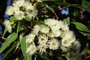 Eucalyptus Fleur, Eucalyptus Australien