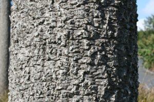 Palmier Géant, Tronc, Écorce, Cordyline Australis
