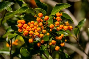 Baies Oranges, Arbre, Fruits, Auranticarpa Rhombifolium