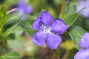 À Feuilles Persistantes, Fleurs Violettes, Violet
