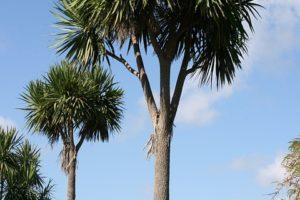 Palmiers, Cordyline Australis, Jardin Botanique